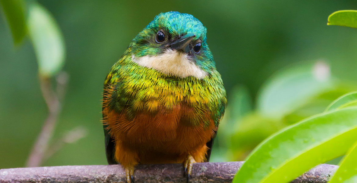 A beautiful rufous-tailed Jacamar in the rainforest