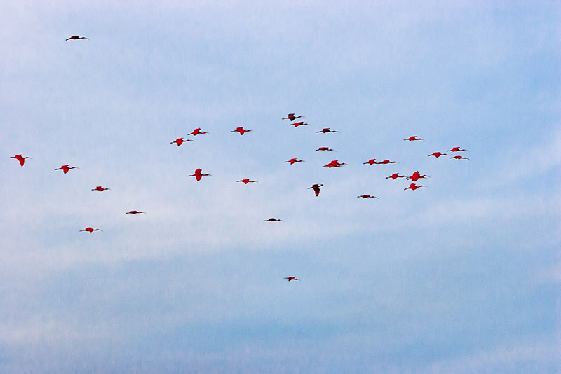 Flocks of Scarlet Ibis return to Caroni Swamp