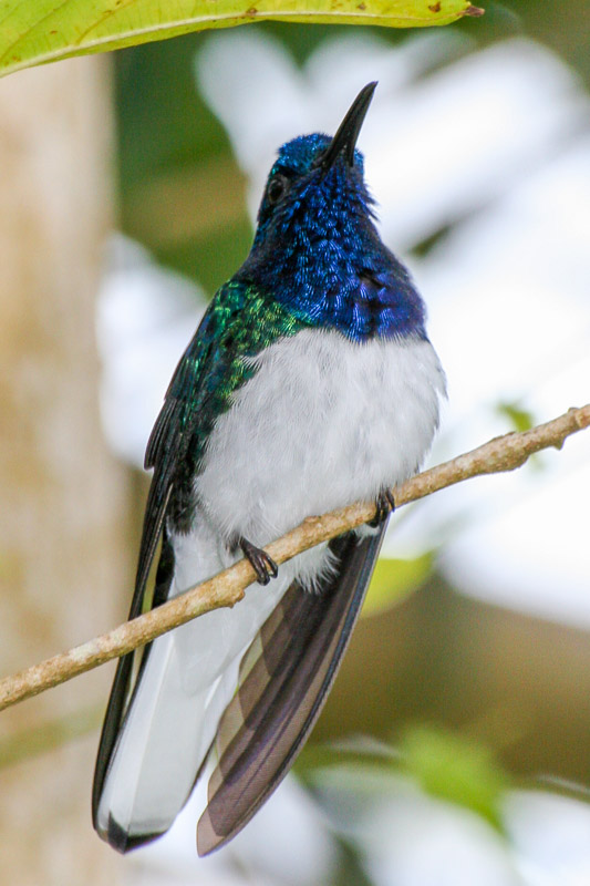 White-necked Jacobin at Cuffie River Nature Retreat