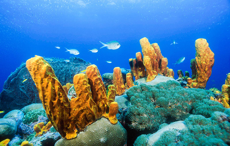 Brown chromis and yellow tube sponge
