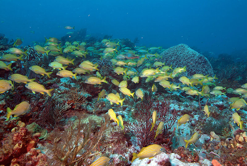 Grunts on Tobago coral reef