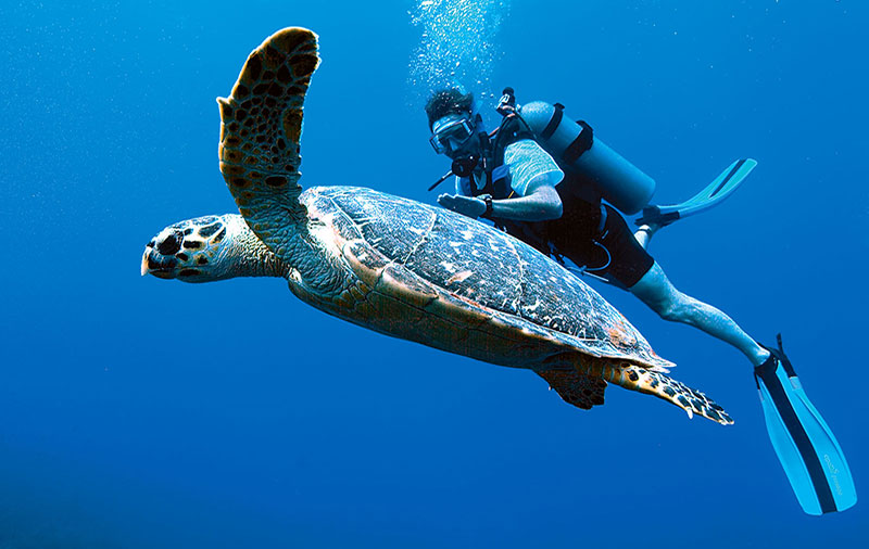 Hawksbill turtle and diver on Tobago reef