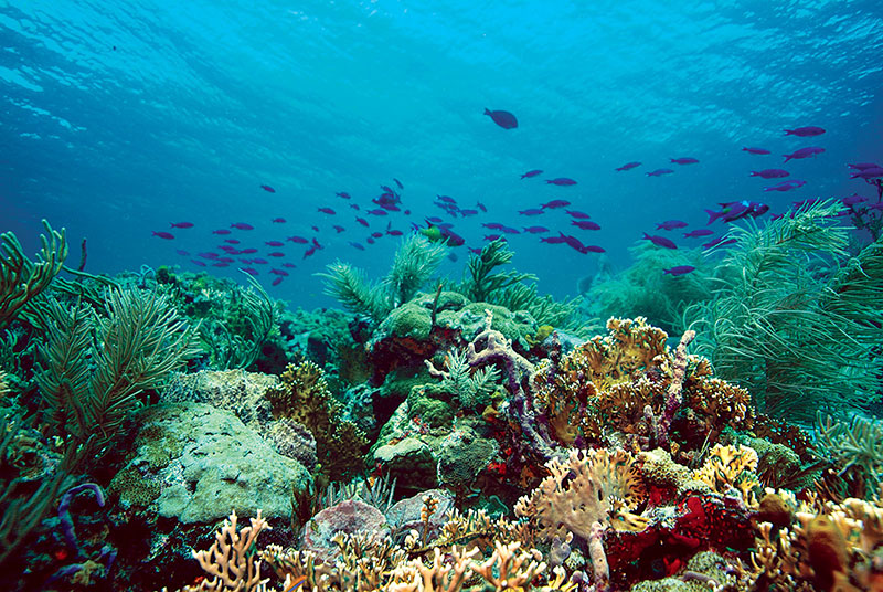 Corals on Tobago reef