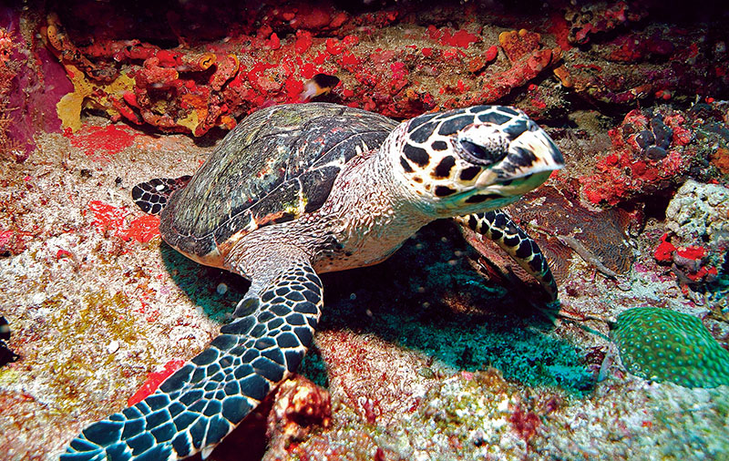 Hawksbill turtle on Tobago coral reef