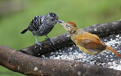 Male and female Antshrikes