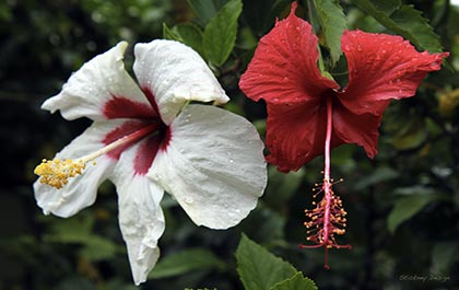A soggy pair of hibiscus