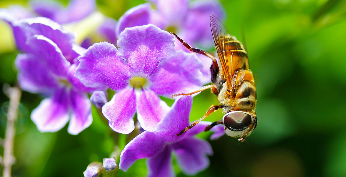 Bee on duranta shrub