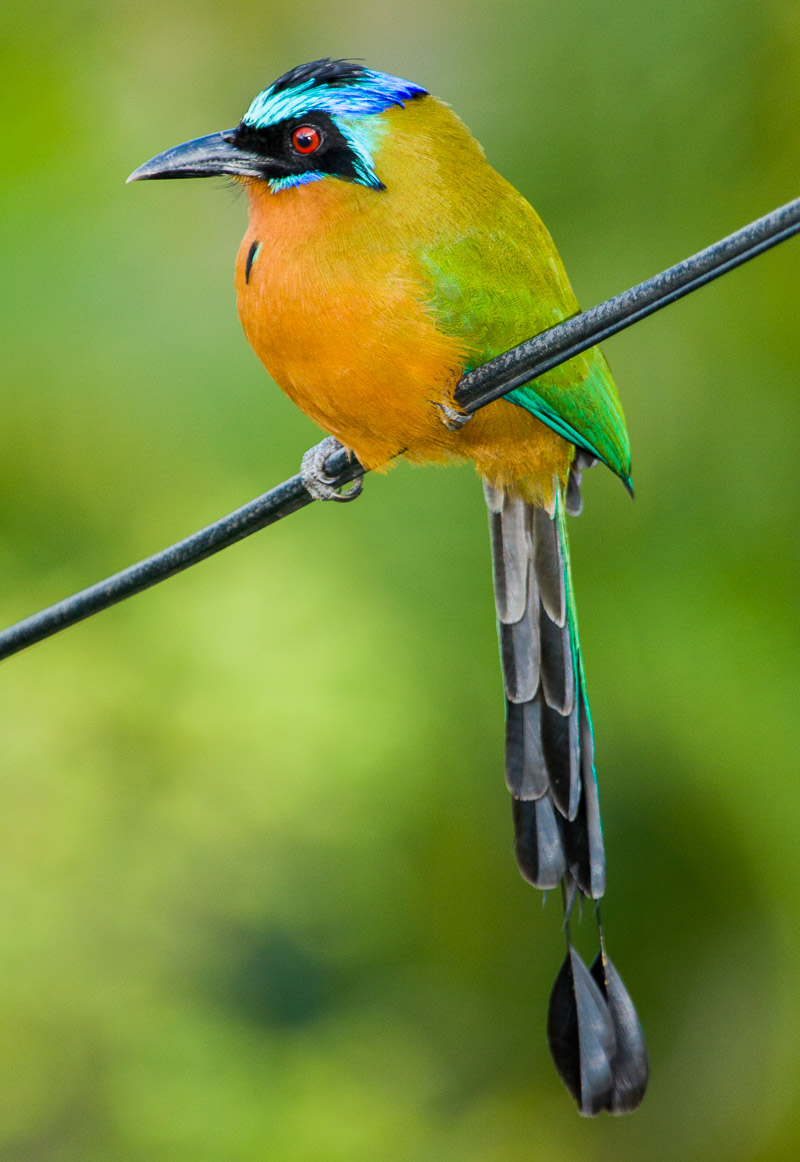 Trinidad Motmot on telephone wire